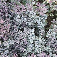 Photo: White Flower Farm | thisoldhouse.com | from Front Yard Plantings to Make an Entrance {Stonecrop; interesting sedum}