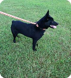 Monroe, CT - Schipperke Mix. Meet Joe a Dog for Adoption.