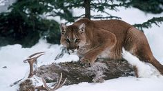 Mountain Lion with prey Mountain Lion Facts, Mountain Lion Hunting, Deer Hunting, Surviving In The Wild, Ghost Cat, Man Vs, Big Cats, Animal Photography, Pet Birds