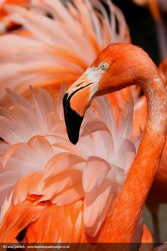 Welcome to Your Shot, National Geographic's photo community. Our mission: To tell stories collaboratively through your best photography and expert curation. Foto Flamingo, Flamingo Art, Pink Flamingos, Flamingo Garden, Flamingo Painting, Pretty Birds, Beautiful Birds, Animals Beautiful, Animal Original