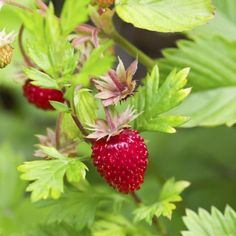 Alpine strawberries are also called wild and woodland strawberries.