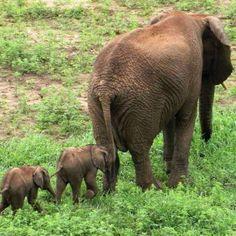 Elefantes gêmeos raros nascem em reserva sul-africana
