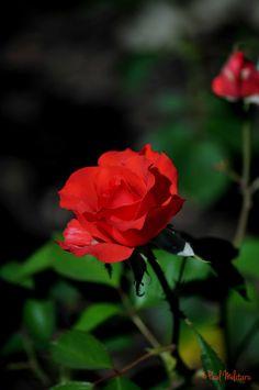 Beautiful Women, Roses Garden, Lady, Flowers, Plants, Garden Roses, Beauty Women, Plant, Royal Icing Flowers