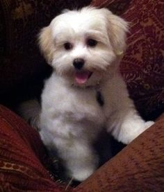 Puppies And Kitties, Puppies For Sale, Cute Puppies, Cute Dogs, Doggies, Shih Poo, Yorkie Poo Full Grown, Yorkie Poo Haircut, Yorky