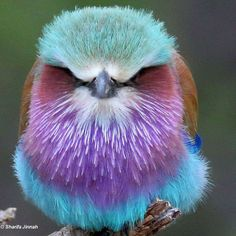 Lilac Breasted Roller - Imgur