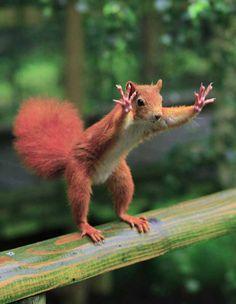 No ano passado, o fotógrafo britânico Ian Rentoul flagrou um esquilo que parecia estar acenando para ele. De acordo com Rentoul, o roedor estava tentando chamar sua atenção de todas as maneiras, já que ele segurava algumas nozes. (Foto: Ian Rentoul/Caters)