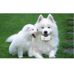 """Teresa Heaver has been breeding and caring Samoyed puppies for over 35 years. """"Teresa Heaver"""" providing general health, hips, and eye for all of their puppies and adult dogs. White Puppies, White Dogs, Dogs And Puppies, White Husky, Dogs 101, Puppies Tips, Baby Animals, Cute Animals, Animals Images"""