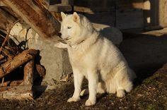 White Husky, Winter Mountain, Hunter Gatherer, Alps, Arctic, Loki, Dog Breeds, Puppies, Horses