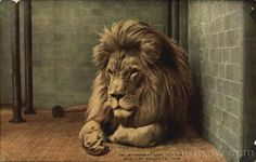 Postcard showing Sultan the barbary lion in the New York Zoological Park. Date: circa 1920 Framed Print Framed, Poster, Canvas Prints, Puzzles, Photo Gifts and Wall Art Fine Art Prints, Framed Prints, Canvas Prints, Lion Species, Lion Facts, North Africa, Photographic Prints, Wonderful Images, Poster Size Prints