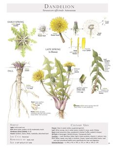Our dandelion poster is the newest addition to the Foraging & Feasting line of products. It combines the beauty of the book's illustrations with educational, at-a-glance-information. We think this postermakes a wonderful addition to the kitchen, dining area, living room,garden shed, or even ba