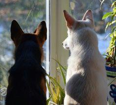 Squirrel vigil #GSD #whiteGSD German Shepherd Colors, White Swiss Shepherd, German Shepherds, German Shepherd Dogs, Squirrel, Rio, Jazz, Corgi, Pets