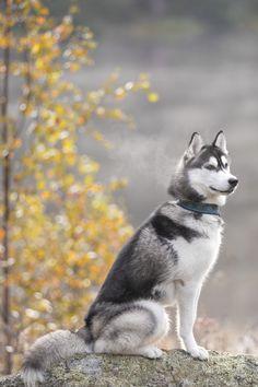 Elegant husky on autumn day