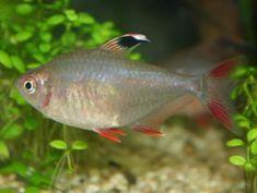Roze tetra (Hyphessobrycon bentosi bentosi of Hyphessobrycon rosaceus) is een tropische vis die in Zuid-Amerika leeft.