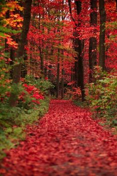 Red fall leaves / autumn woods forest pathway nature photography