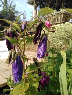 "PLANTES VIVACES-campanule ""Sarastro""Les Jardins des Hurlevents "" http://www.plantes-vivaces-hurlevents.com/"