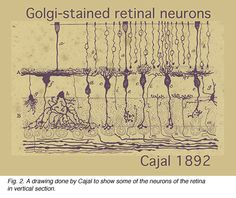 Golgi-Stained Retinal Neurons by Santiago Ramon y Cajal