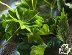 Viherjauheen valmistus on mukavaa kesäpuuhaa. Fungi, Flora, Herbs, Lifestyle, Diy, Mushrooms, Bricolage, Plants, Herb