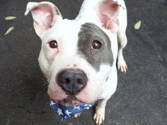 TO BE DESTROYED - 11/24/14 Manhattan Center - P  My name is PRINCESS. My Animal ID # is A1019889. I am a female white and blue am pit bull ter mix. The shelter thinks I am about 2 YEARS   I came in the shelter as a OWNER SUR on 11/06/2014 from OUT OF NYC, owner surrender reason stated was MOVE2PRIVA.
