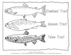 Trout Coloring Page Collectionfrom our Wonderweirded Fish Coloring Pages  Types of Trout Species, Trout Outlines for Fish Identification