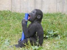 Jung-Gorilla Banjoko beim Spielen auf der Außenanlage