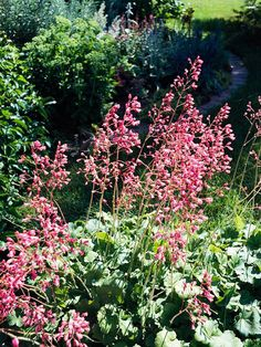 Coralbells' bright red, pink, or white flowers are perfect fillers between bigger blooms. They last a long time when cut -- and appear over a period of several weeks in the garden.  Zones 3-9  Learn more about growing coralbells.