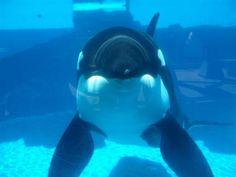 shamu, estrella principal del show de orcas en sea world. (LAG).