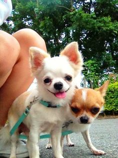One Chihuahua is a morning dog and the other one well, not so much! LOL!