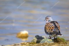 Colorful Cute Bird Turtle Dove Nature Background Bird European Turtle - S , Turtle Dove, Dove Bird, Cute Birds, Birds In Flight, Photo Library, Nature, Wildlife, Colorful, Stock Photos
