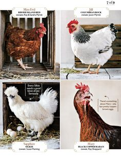 Cute Chickens in Southern Living