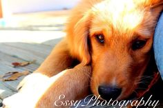 EssyPhotography- golden retriever puppy