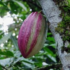 Cocoa Tree Seeds: Tips On Growing Cacao Trees -  It comes as no surprise that some people would like to grow their own cacao tree. The question is how to grow cocoa beans from cocoa tree seeds? Click this article to find out about growing cacao trees and other cocoa tree info.