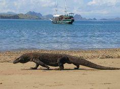 Animal Unique: Komodo Dragon