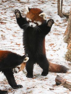 They have the cutest paws in the entire universe. | 17 Reasons Red Pandas Are Earth-Shatteringly Cute - FUTURE PET