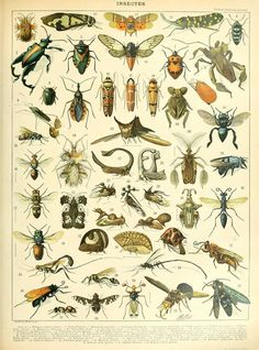 Vintage Insect Print, French Insect Chart Biology Poster Insect Illustration Wall Art Home Decor - - Illustration Française, Antique Illustration, Vintage Botanical Prints, Antique Prints, Botanical Drawings, Éphémères Vintage, Poster Vintage, Biology Poster, Impressions Botaniques