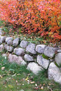 Kerrokset - syksy ruska värikäs  aronia koristearonia kiviaita kivi pensas nurmi nurmikko lehti lehdet