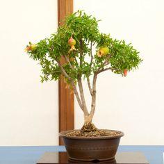 Pomegranate bonsai.