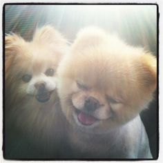 """""""What kind of dog is Boo? The fact is, he is the cutest dog in the world. Here you can meet Boo the dog for yourself. Boo The Cutest Dog, World Cutest Dog, Cutest Dog Ever, Puppy Care, Pet Puppy, Dog Cat, Boo And Buddy, Jiff Pom, Husky"""