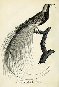 Histoire naturelle et générale des grimpereaux et des oiseaux de paradis /. Paris :Desray ,an XI = 1802.
