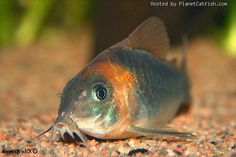 Corydoras eques Colorful Fish, Tropical Fish, Tropical Aquarium, Cory Catfish, Aquarium Catfish, Sleep With The Fishes, Tetra Fish, Freshwater Aquarium Fish, African Cichlids