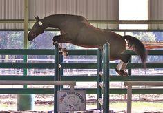 Top Prospect: Connemara x Thoroughbred Connemara Pony, Hunter Jumper, Thoroughbred, Dressage, Ponies, Ranch, Sport, Future, Top