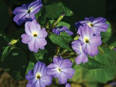Lovely blue flowering annual with attractive, deep green leaves. This plant bears numerous 1-inch wide clear blue flowers