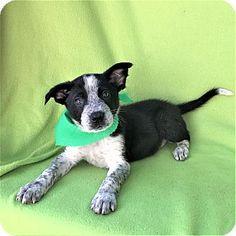 Burbank, CA - Blue Heeler Mix. Meet Baxter Blue Heeler Puppy, a puppy for adoption. http://www.adoptapet.com/pet/17773708-burbank-california-blue-heeler-mix