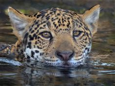 Head above water by Ion Moe | Valerio, a six month old jaguar cub, cools off at the San Diego Zoo.