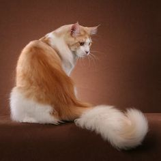 white with orange spot cat | Large Orange Cat