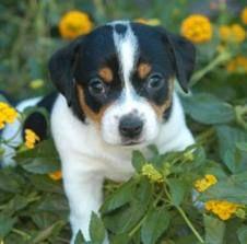 Jack russel puppy cuteeeee