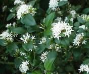 Image result for Carissa bispinosa