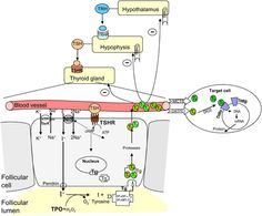 Scheme of the thyroid hormone production and regulation on the hypothalamus–pituitary–thyroid axis.