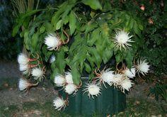 Blattkakteen Epiphyllum Hybride *** GEORGE E.SCOTT *** Epicactus