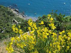 Ginestra flowers above Punta Corvo beach, Gulf of La Spezia