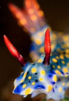 I'm in love with Nudibranches. If I could live my life over again, I'd train as a marine biologist and study these amazing creatures in detail. Underwater Creatures, Ocean Creatures, Underwater World, The Ocean, Ocean Life, Sea Snail, Sea Slug, Life Aquatic, Deep Blue Sea